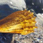Scaly Horse-mussel