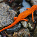 Eastern red-dotted newt