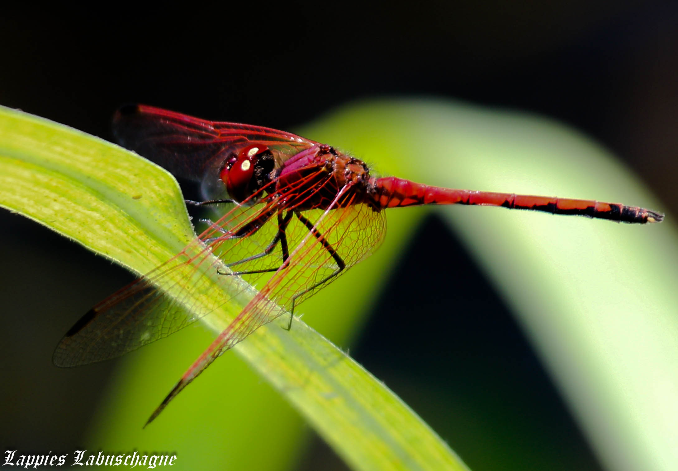 Trithemis-arteriosa-red-vained-Dropwing