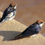 Wire-tailed Swallow Juvenile